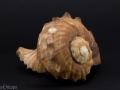 Muricidae - Rapana rapiformis 1