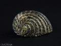Neritidae - Nerita sp. 1
