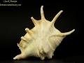 Strombidae - Lambis lambis