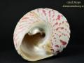 Trochidae - Trochus nilotcus spód