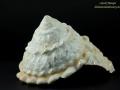 Turbinidae - Astraea sp.1