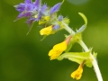 kwiat - Przeniec gajowy (Melampyrum nemorosum)
