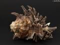 Muricidae - Cichoreum sp.1
