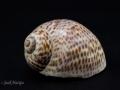 Naticinae - Natica sp.1
