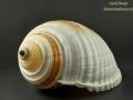 Tonnidae - Tonna sulcosa