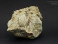 Cardites Turritiella Kreda Korytnica